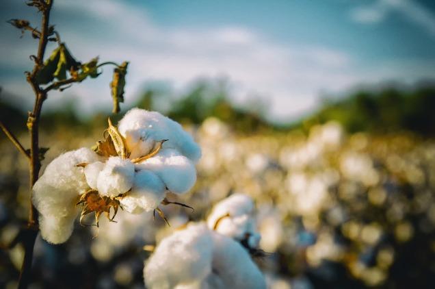 cotton-2807360_960_720